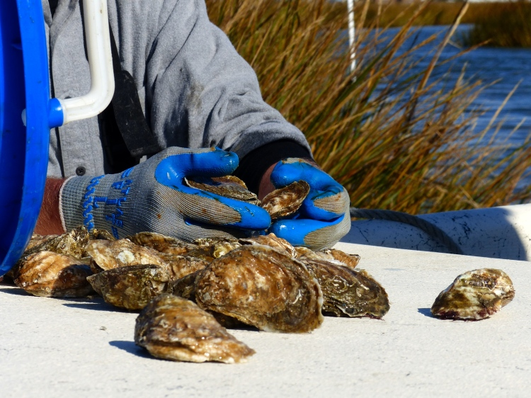 Delight your senses by learning about oystering while enjoying slurping them.