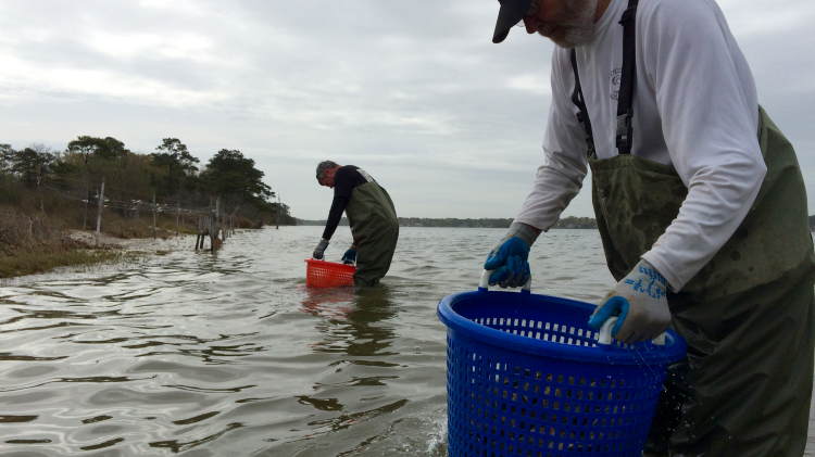 One last tumble by hand in the Lynnhaven to polish the oysters