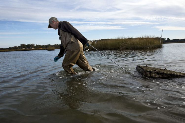 Oysterman Chris Ludford pulls oyster cages into shallow water . . .  Photo Credit: The' N. Pham | The Virginian-Pilot